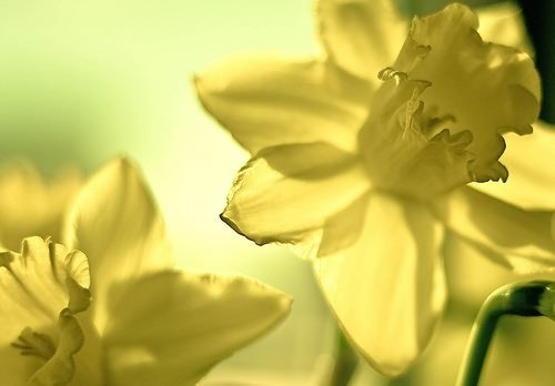 Consider the daffodil... by [ r ♥ c e y t ♥ y ] {I brake for bokeh}