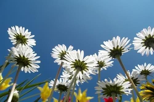 daisies Gänseblümchen von unten by matze_ott