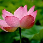 Zen and the Lotus Blossom